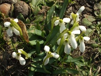 Snowdrops in Bucharest
