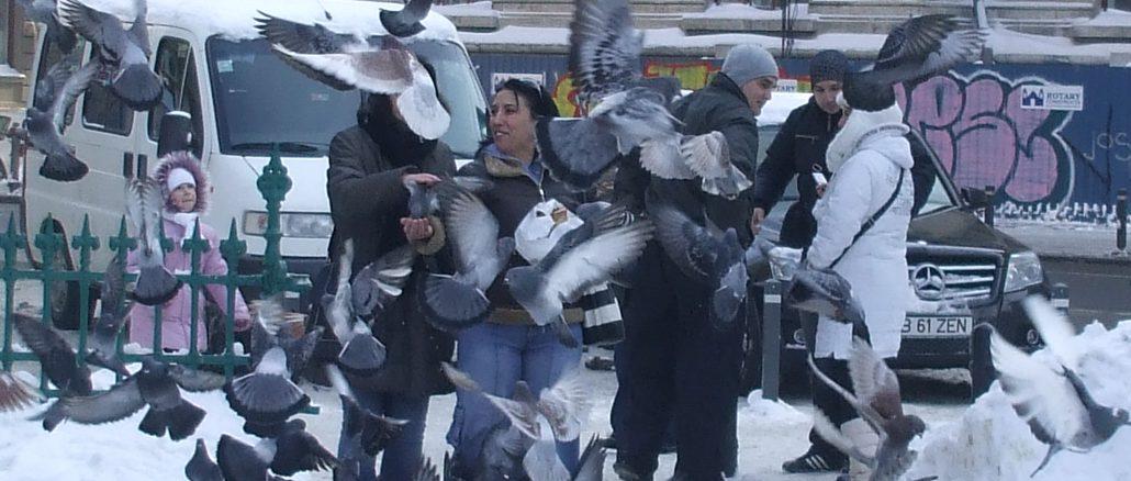 FEARLESS PIDGEONS IN CISMIGIU PARK - Bucharest