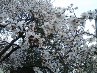 Spring Blossomed Trees in Bucharest